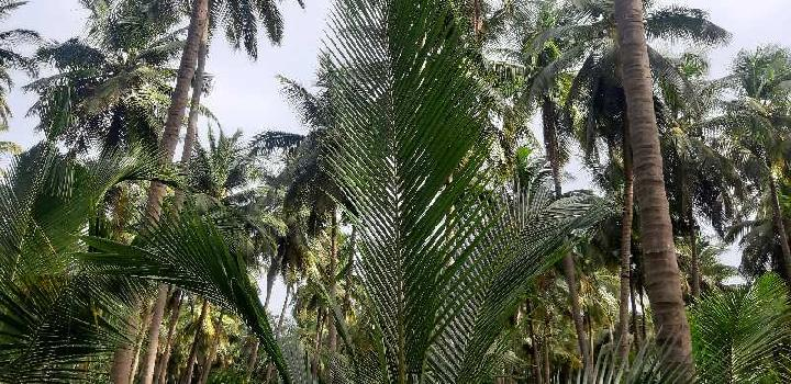 6 acra's coconut farm land rivar said farm land&all type land&buying&selling