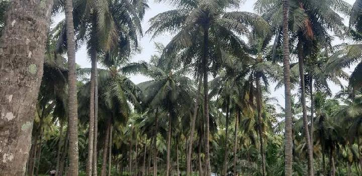 Coconut farm sales pollachi taluk