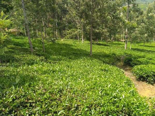 570 acres Well maintained tea estates for sale in coonoor