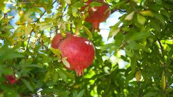 Fruits Agriculture Farm land for sale in Ahmednagar