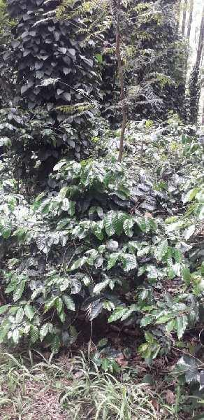 Coffee Estate for sale in Chikmagaluru