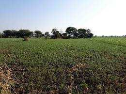Agriculture Land For Sale In Safidon, Jind