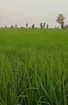 Prime agriculture land for sale in Malerkotla
