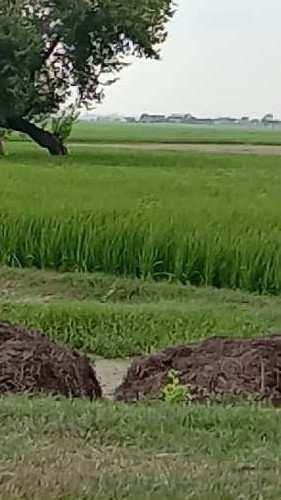 50 Ares Agricultural/Farm Land for Sale in Dataganj, Budaun