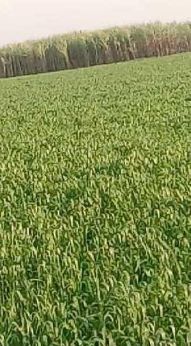 15 Ares Agricultural/Farm Land for Sale in Dataganj, Budaun