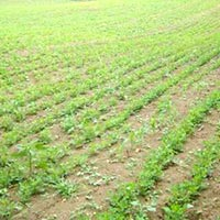 13 Acres Land for Agriculture