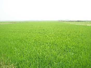 Agricultural Land For Sale In Jamar, Bardhaman