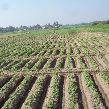 5 Bigha Agricultural land sell in Orgrm,Bardhaman