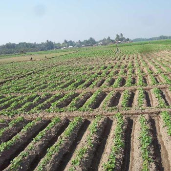 10 Bigha Agriculture land sell In Nurpur Bardhaman