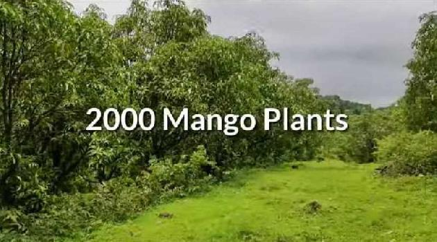 Developed Mango Farm 75 acre in Ratnagiri